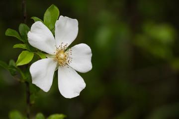 Single white Cherokee Rose flower against dark background