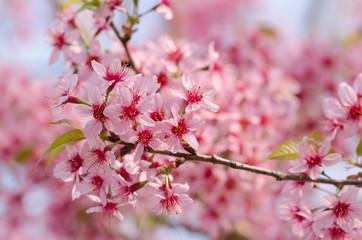 Sakura Flower or Cherry Blossom With Beautiful Nature Background