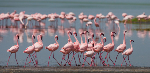 The courtship dance flamingo. Kenya. Africa. Nakuru National Park. Lake Bogoria National Reserve. An excellent illustration.