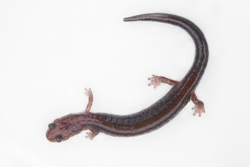 Red-backed Salamander (Plethodon cinereus)