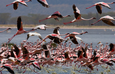 Foto op Aluminium Flamingo Big group flamingos on the lake. Kenya. Africa. Nakuru National Park. Lake Bogoria National Reserve. An excellent illustration.
