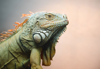 Close-up of Iguana