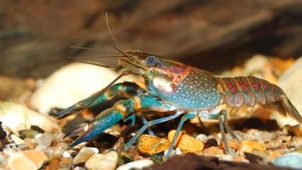 colorful Australian blue crayfish - cherax quadricarinatus in aq