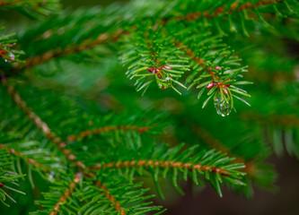 Pine & Rain Drop