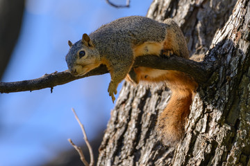 Fox Squirrel Laying on Branch flipping off camera