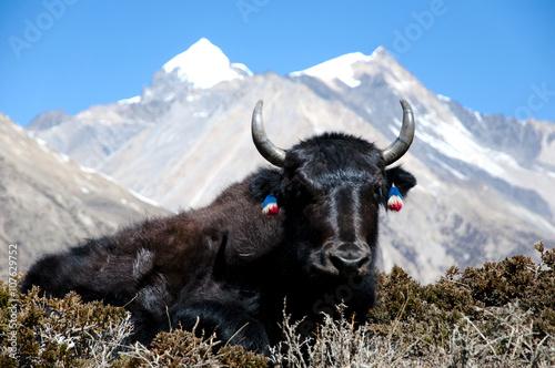 Fotobehang Yak - Nepal