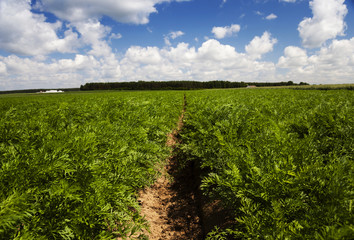 Carrot field , Agricultural