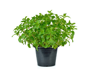 Fresh mint herb on a pot over white