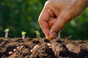 Fototapeta Farmer's hand planting seeds in soil obraz