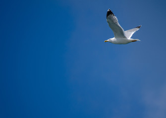 The seagull flying on a background of the dark blue sky