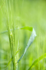 close up of  wheat  ear