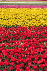 lale çiçek tarlası