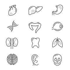 Human organs line icons. Human internal organs detailed  thin line vector signs