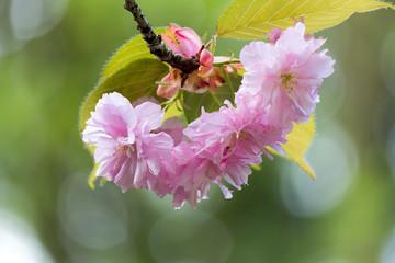 Kwanzan Cherry Bossom Flowers Macro