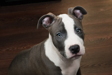 White and Grey Pitbull sitting on brown floor