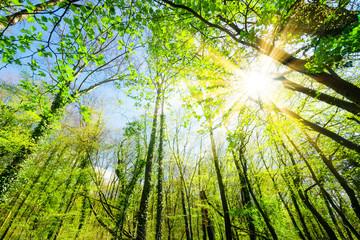 Fototapete - Sonnenstrahlen scheinen durch Baumkronen im Wald