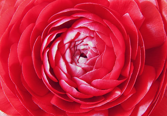 close up of red spring flowers. top view photo