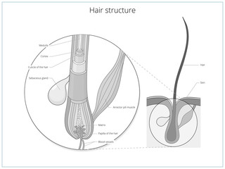 Hair structure medical educational vector