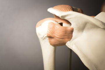 Shoulder joint meniscus model