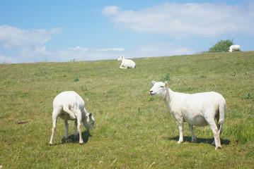 Seaford Sheep