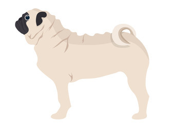 Pug Puppy vector illustration. pug dog isolated on white background