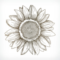 Sunflower sketch, hand drawing, vector illustration
