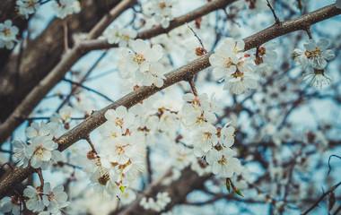 Абрикосовый сад ранней весной