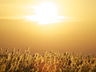 Schilfgras in der Abendsonne