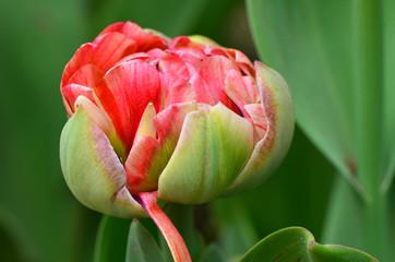 A budding tulip