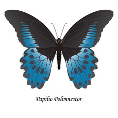 Illustration of Indian Swallowtail Butterfly - Papilio Polymnestor. Element for design. ClipArt. The element of training patterns, biological descriptions, etc.