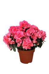 pink azalea in a pot on white background