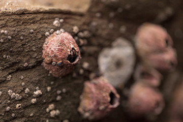 Pink barnacle Tetraclita rubescens clings to a rock in the intertidal zone of Laguna Beach, California