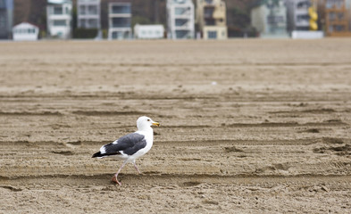 Bird stands on the shore of the Pacific ocean. Seagull on the background of a sandy beach.
