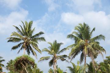 Palm Tree Top