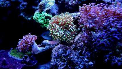 Frogspawn Coral (Euphyllia yaeyamaensis)