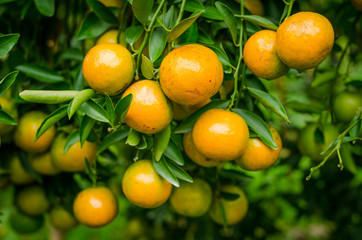 Close up group of Mandarin oranges on orange tree at plantation