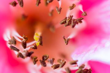 Delicate pink camelia