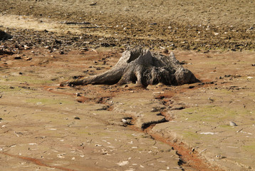 stump of dead tree with revealed roots on the bottom of dry pond