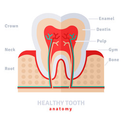 Healthy white tooth anatomy flat