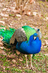 Male peacock outdoors.