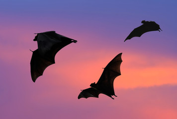 Bats flying at sunset