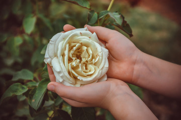 closeup of dirty child's hands holding delicate rose in garden