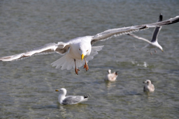Seagulls over the baltic sea in Poland
