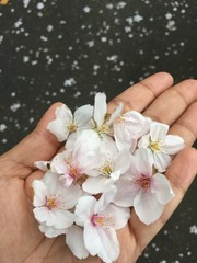 Fallen Cherry blossoms at end of Spring in Japan