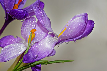 The open purple crocuses with the raindrops on the gray background