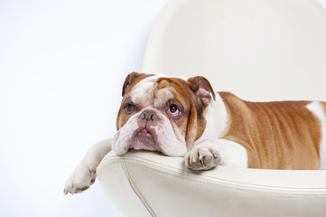 Dog breed English bulldog, lies and looks up..