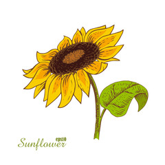 Sunflower. Woodcut style. Vector illustration.