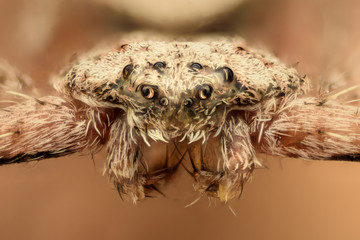 Extreme magnification - Flat spider, front view