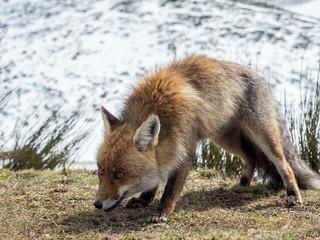 Red fox (Vulpes vulpes) ready to hunt