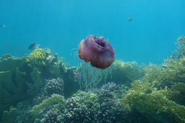 jellyfish cephea against corals
